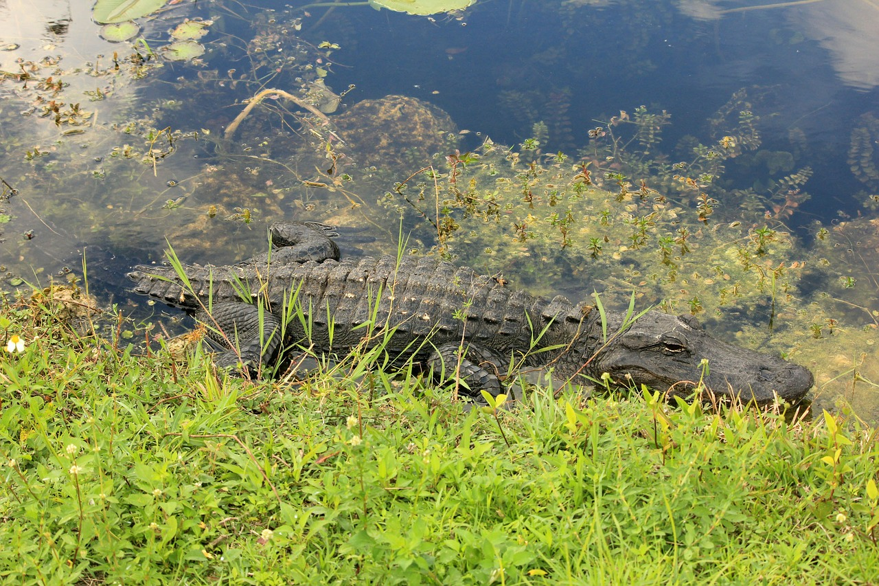 A photo of an alligator at the Everglades