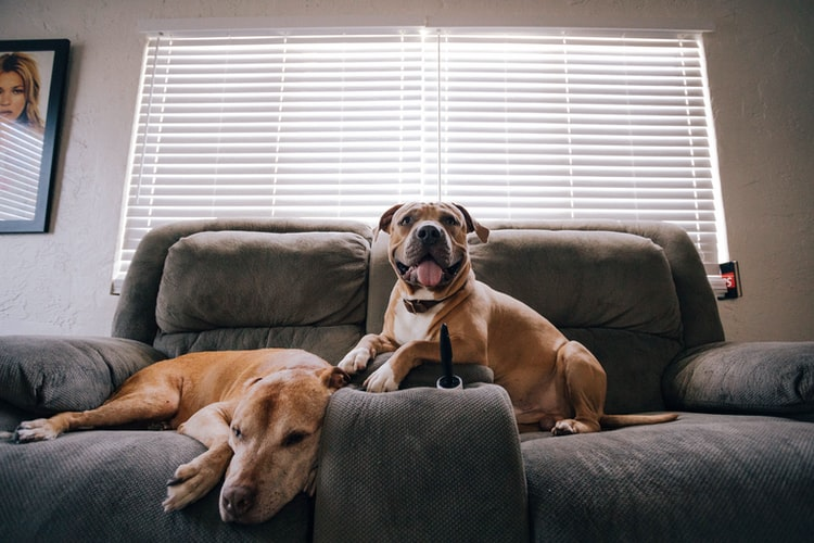 Two beautiful dogs relaxing on the furniture in their home.